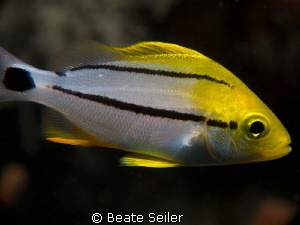 Juv. Porkfish by Beate Seiler 